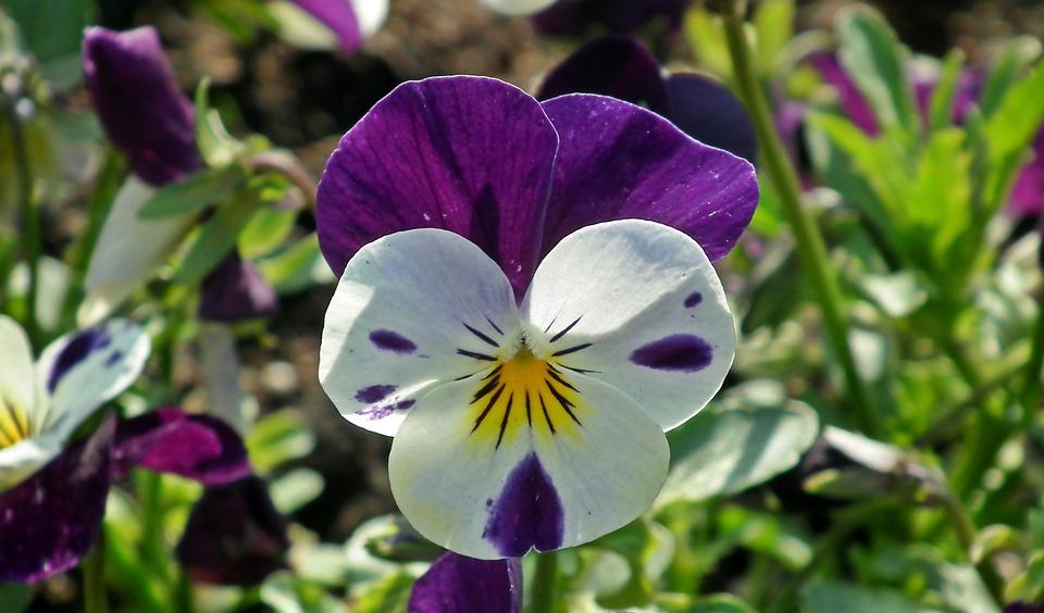 Hình ảnh hoa Phăng sắc tím đẹp