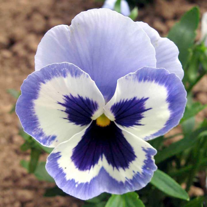 Hình ảnh hoa Phăng xê đẹp nhất