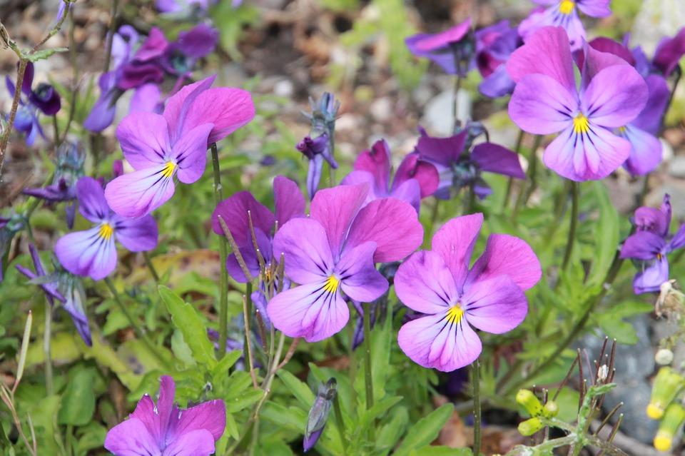 Hình ảnh hoa Phăng xê đẹp