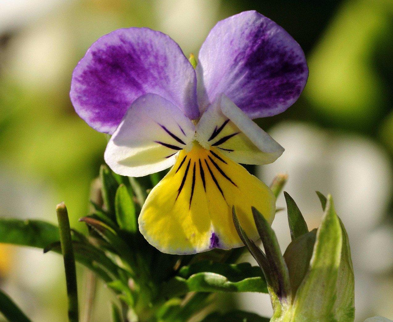 Hình ảnh hoa Phăng