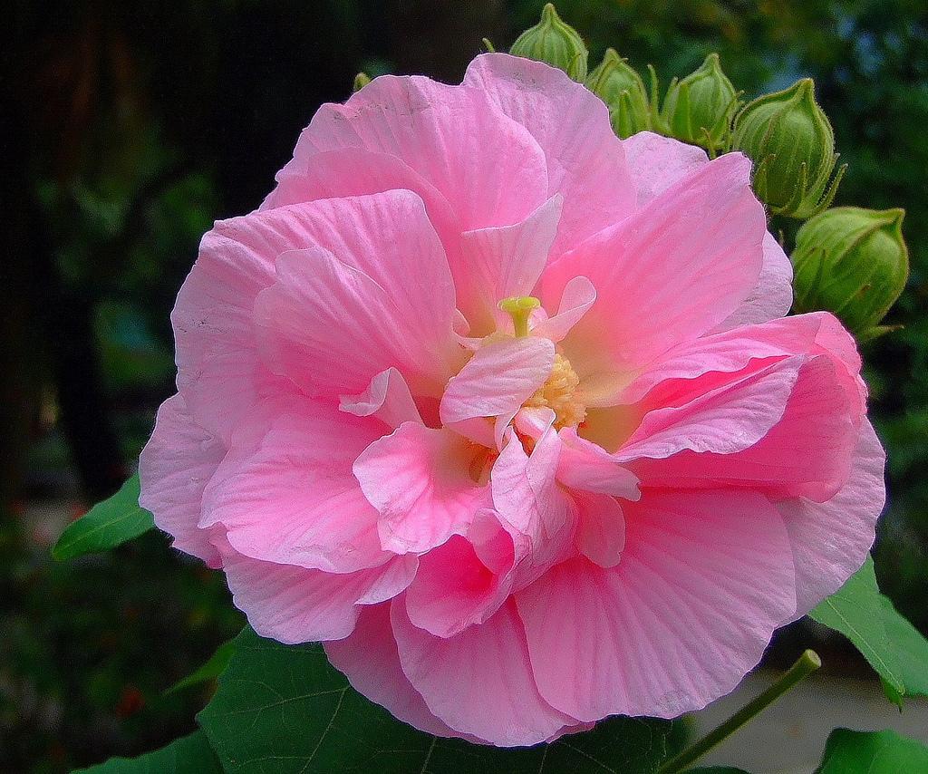 Hình ảnh hoa Phù Dung kép