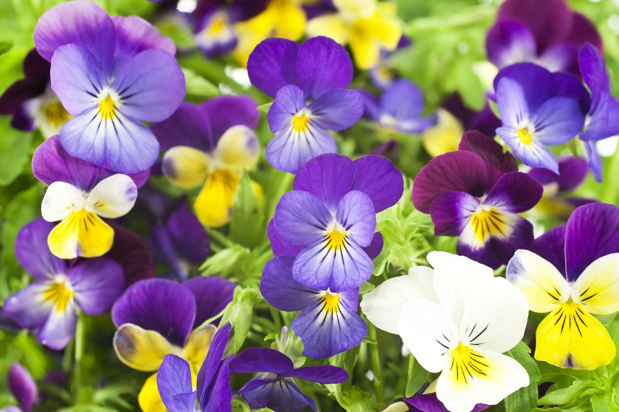 Hình ảnh những bông hoa Phăng đẹp nhất