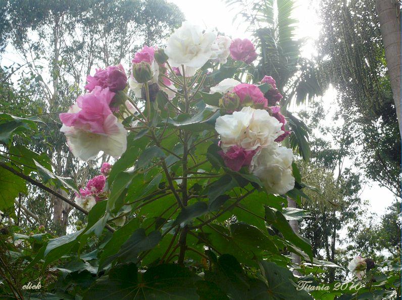 Hình ảnh những bông hoa Phù Dung đẹp