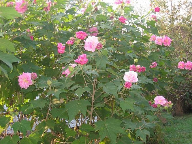 Hình ảnh những bông hoa Phù Dung nở rộ đẹp
