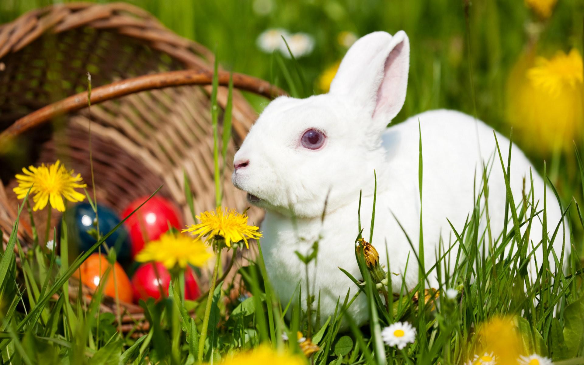 Hình con Thỏ trắng dễ thương nhất