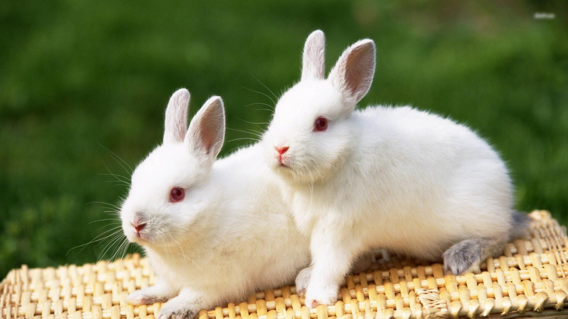 Hình con Thỏ trắng đẹp nhất