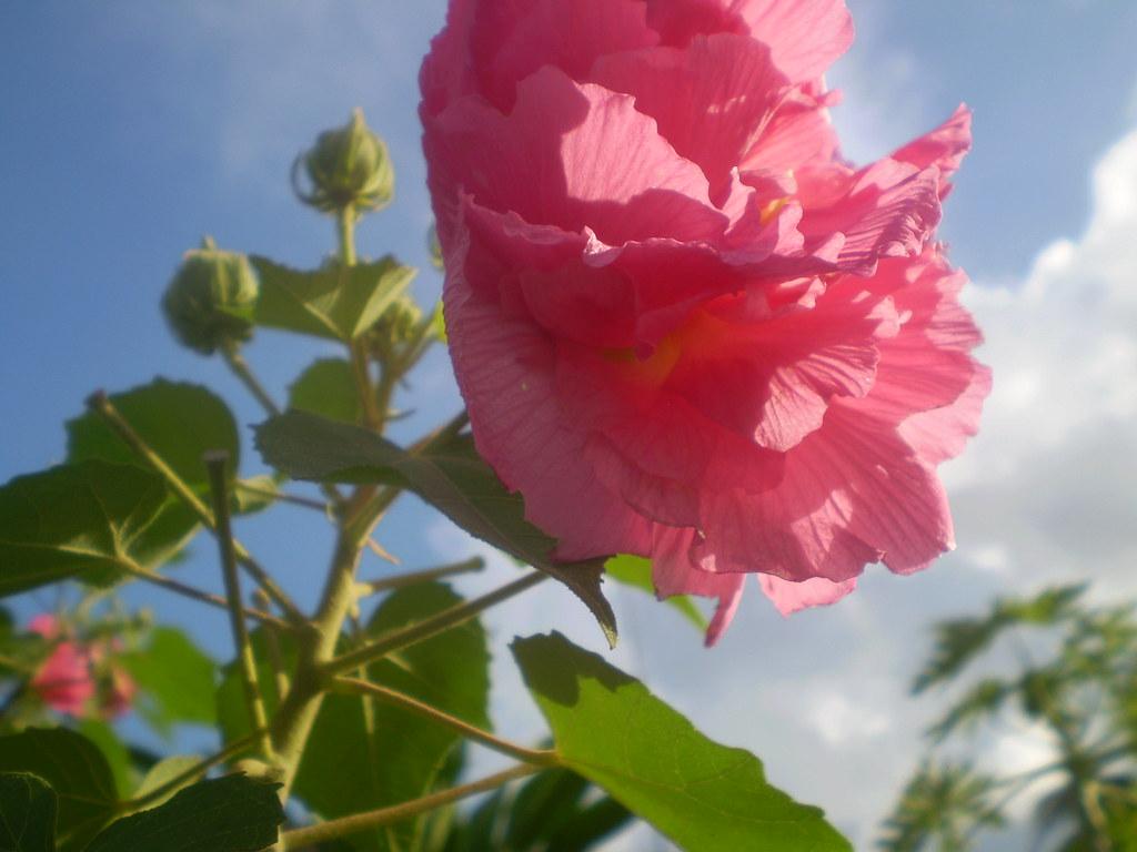 Hình đóa hoa Phù Dung đẹp nhất