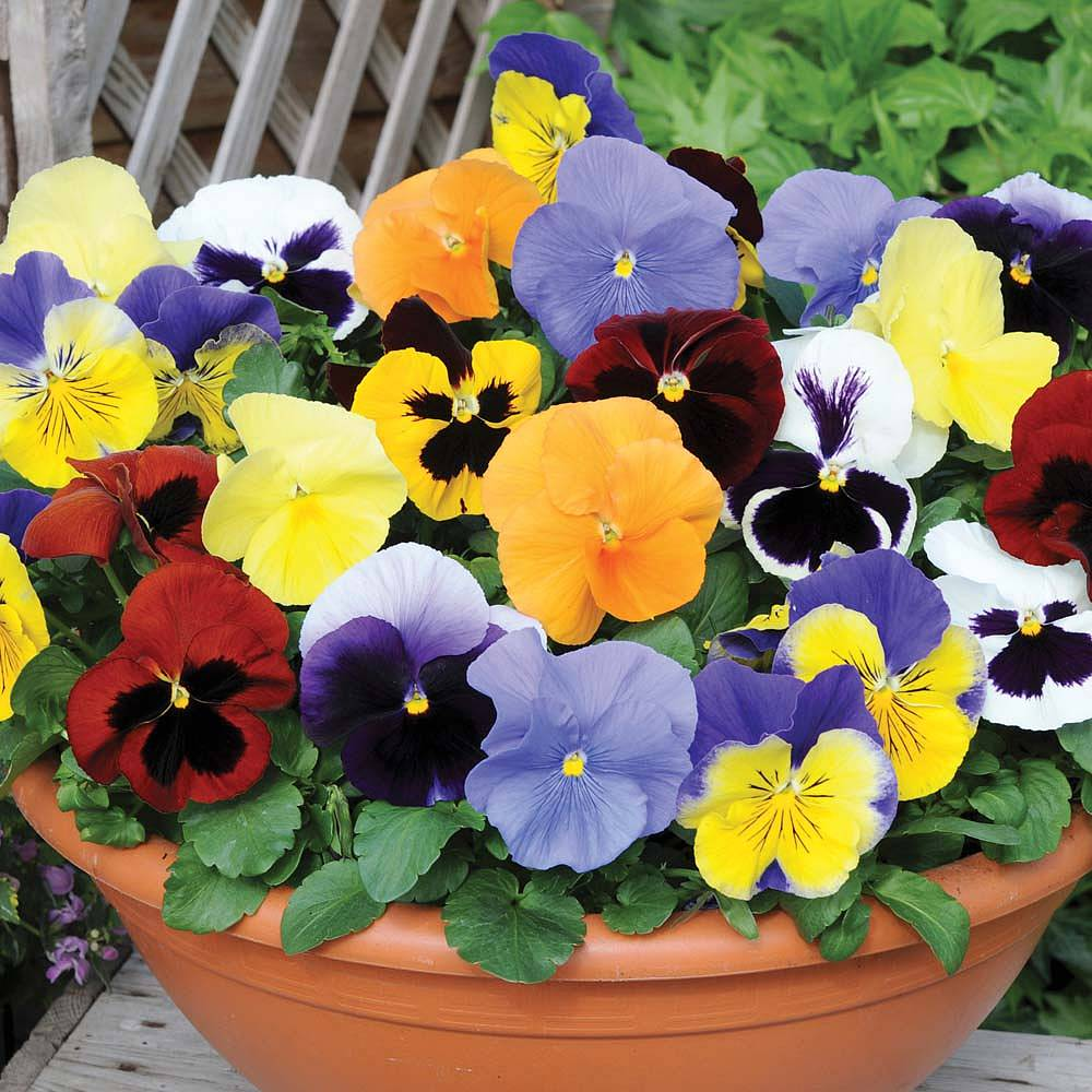 Hình hoa Păng xê đẹp