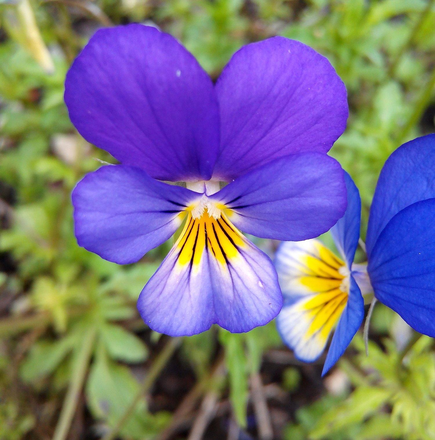 Hình hoa Păng-xê đẹp