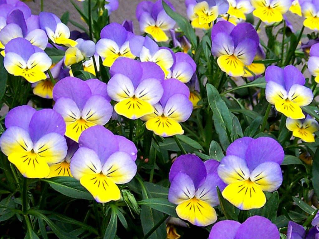 Hình hoa Pansy đẹp