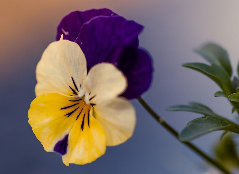 Hình hoa Phăng đẹp