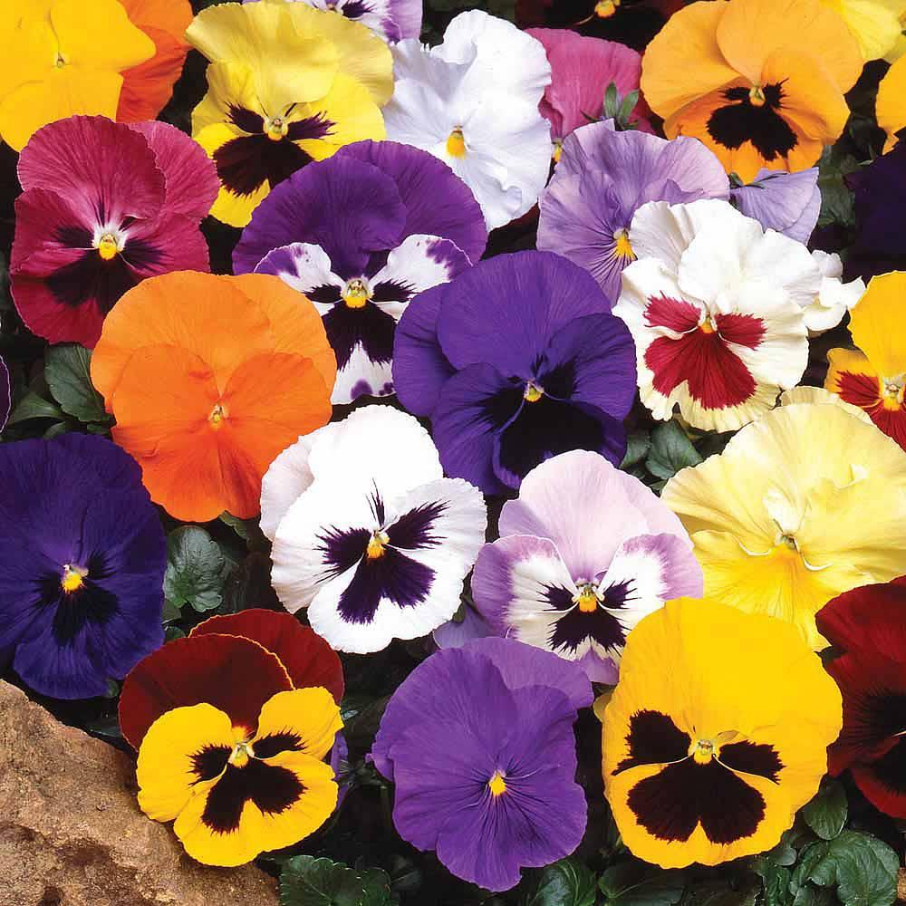 Hình hoa Phăng-xê đẹp