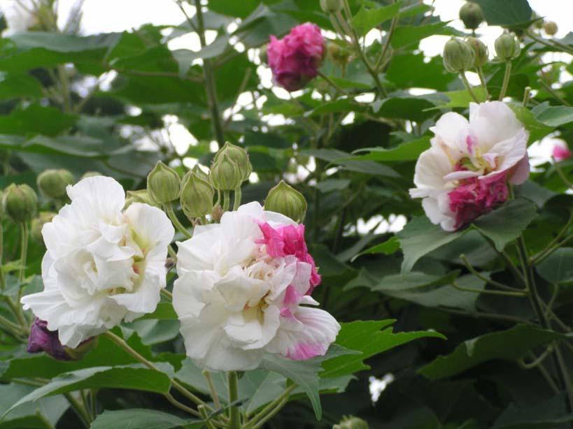 Hình hoa Phù Dung cực đẹp