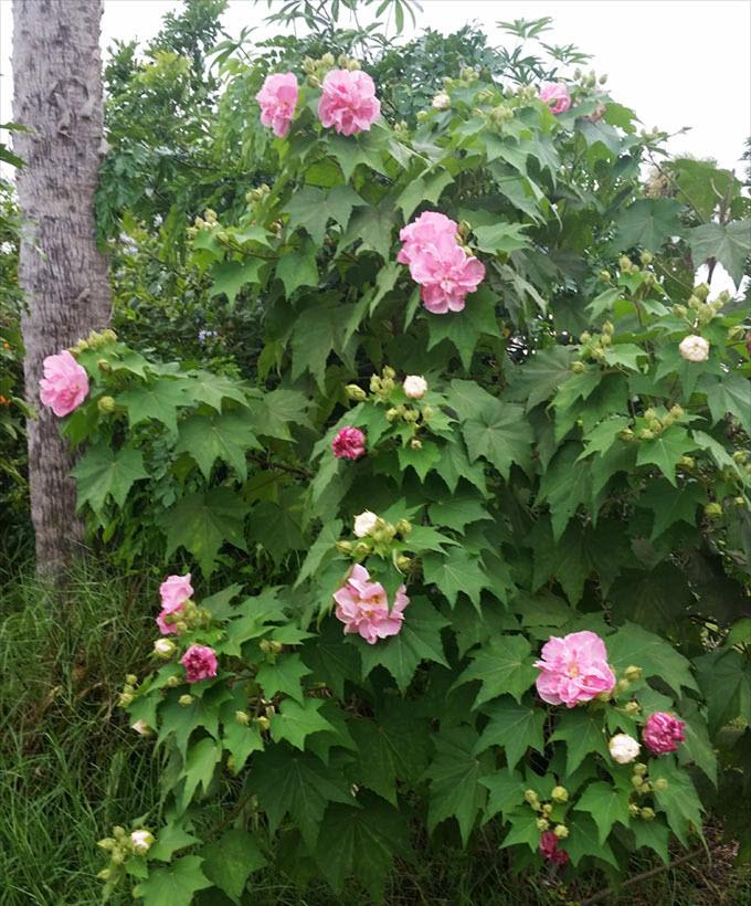 Hình hoa Phù Dung đẹp nhất