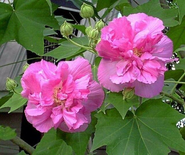 Hình hoa Phù Dung đẹp