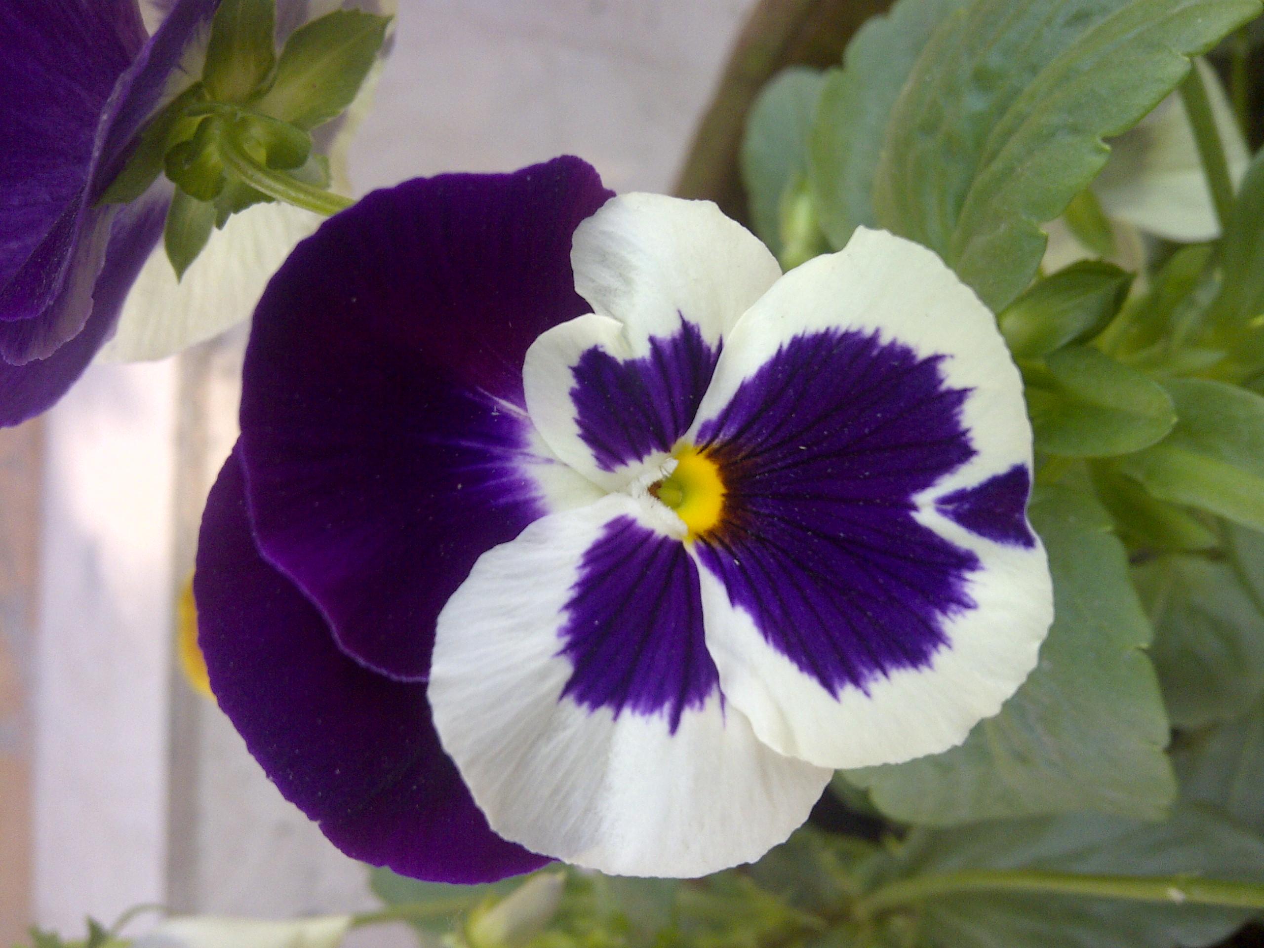 Hoa Phăng tím