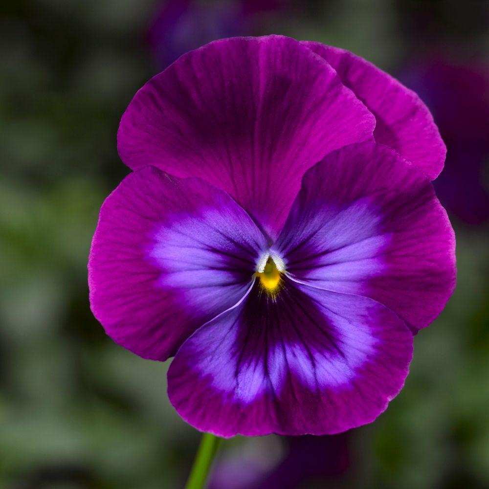 Hoa Phăng-xê đẹp