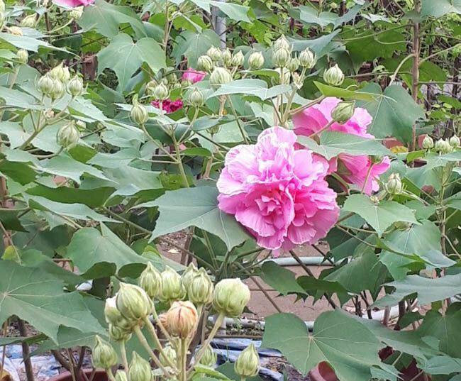 Những cây hoa Phù Dung cực đẹp