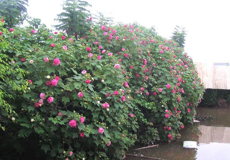 Những cây hoa Phù Dung đẹp