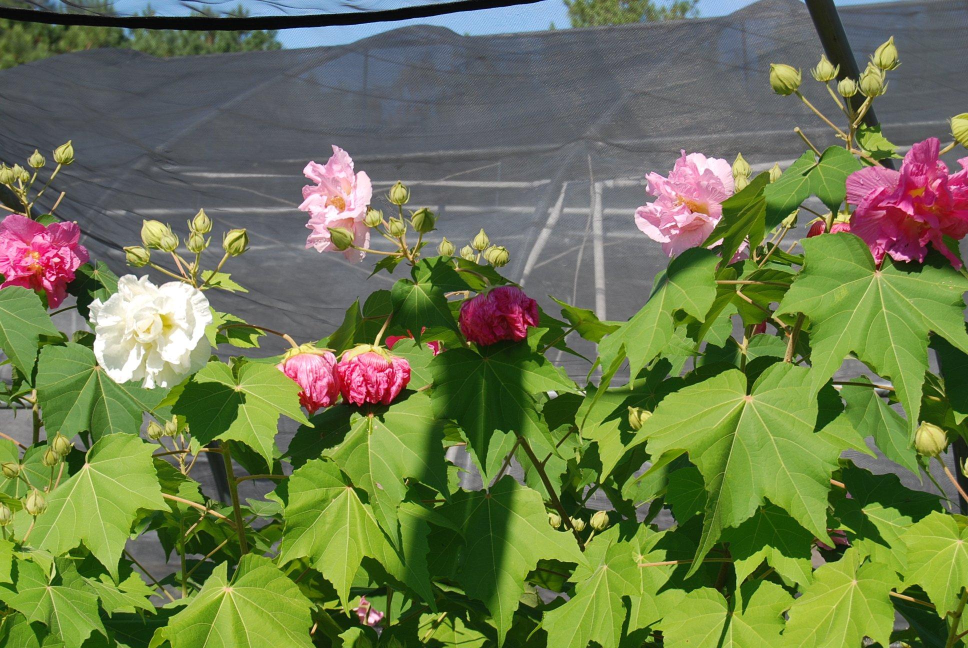 Những cây hoa Phù Dung nở đẹp