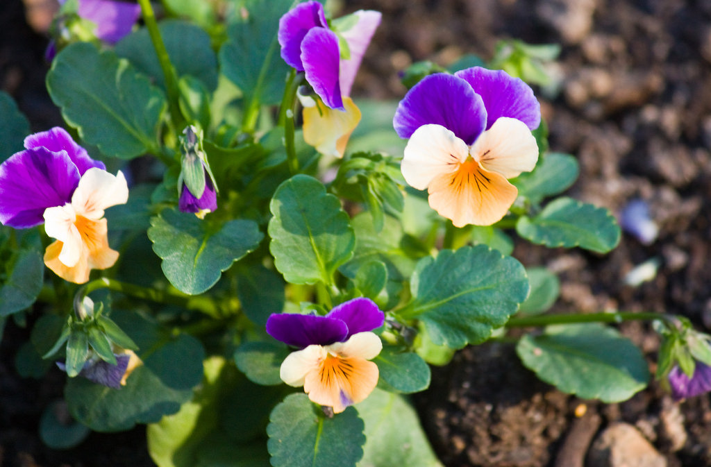 Những hình ảnh hoa Phăng đẹp nhất