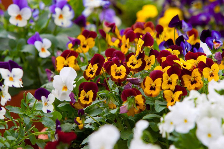 Ý nghĩa của hoa Phăng