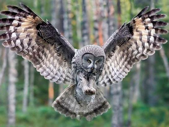 Ảnh đẹp chim cú mèo tung cánh
