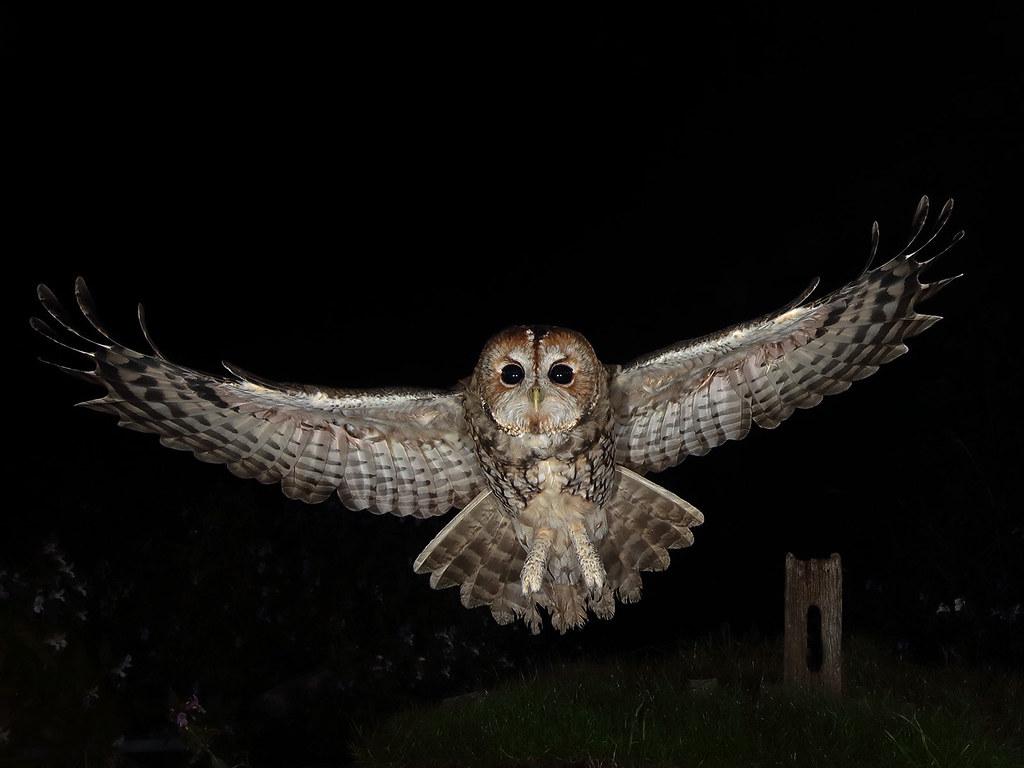 Hình ảnh chim cú mèo bay trong đêm