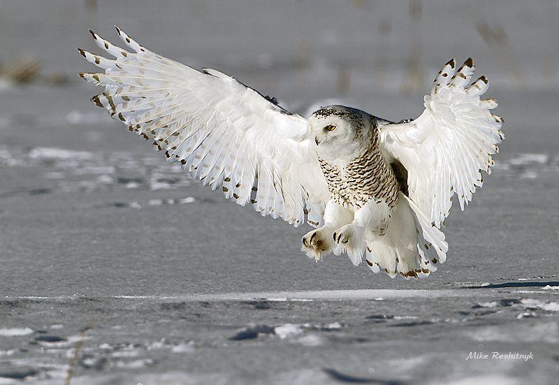 Hình ảnh chim cú mèo săn mồi đẹp nhất