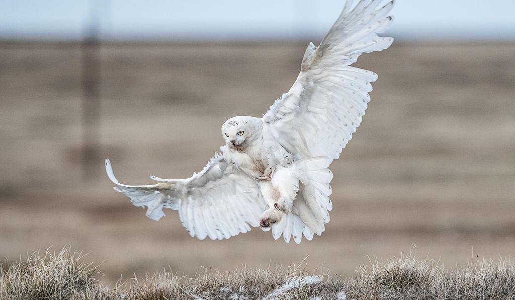 Hình ảnh chim cú mèo trắng đẹp