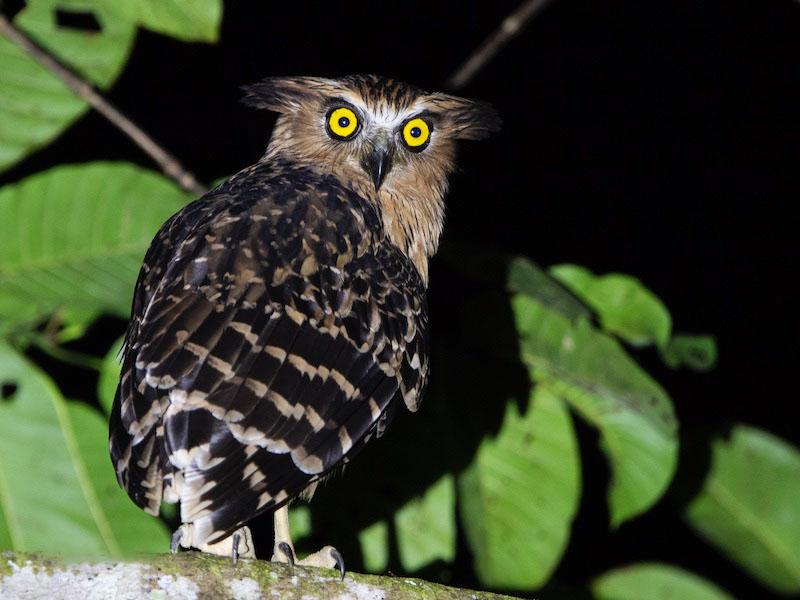 Hình ảnh chim cú mèo trong đêm