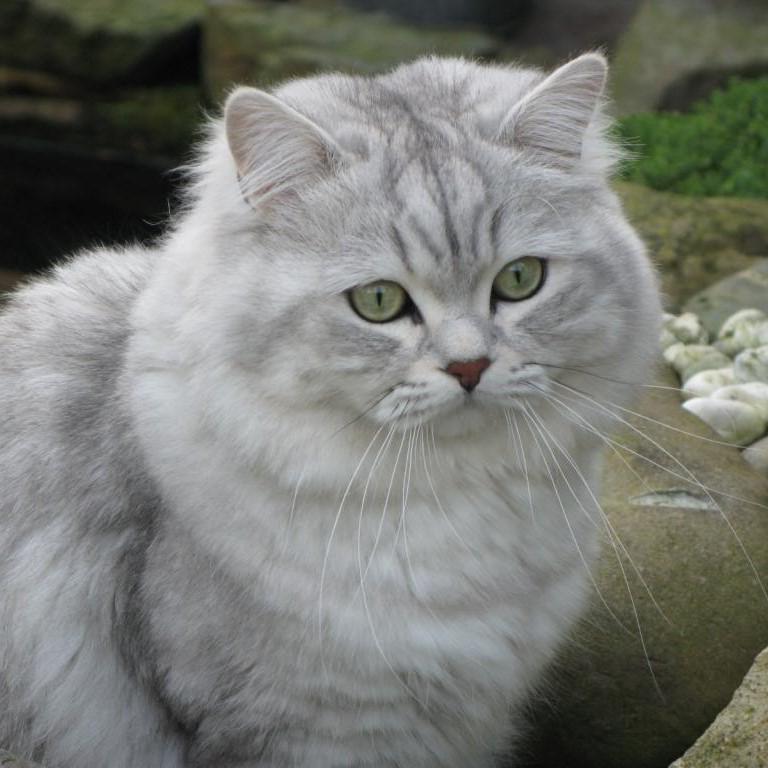 Ảnh mèo anh lông dài đẹp