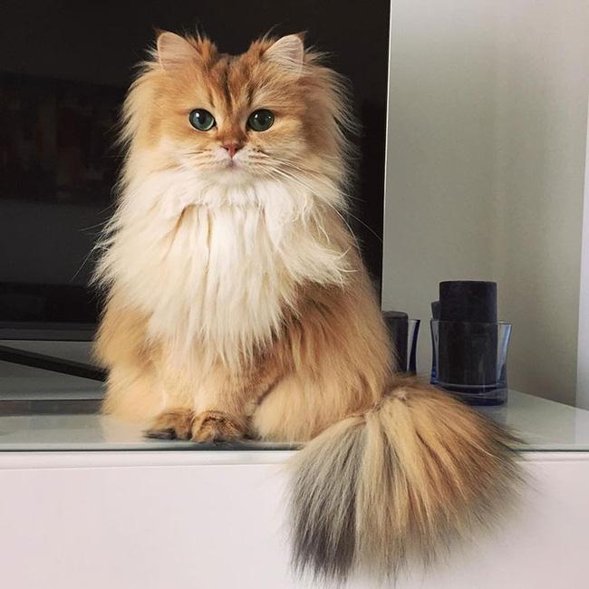 Ảnh mèo lông dài đẹp và dễ thương