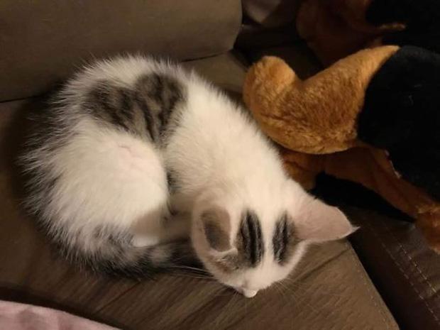 Ảnh mèo lông trái tim