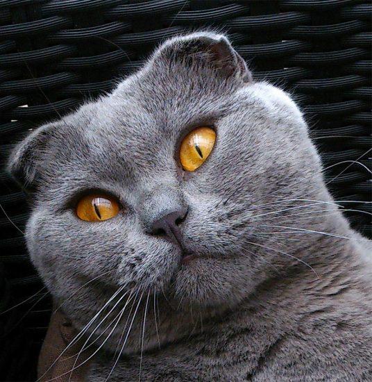 Ảnh mèo tai cụp đẹp