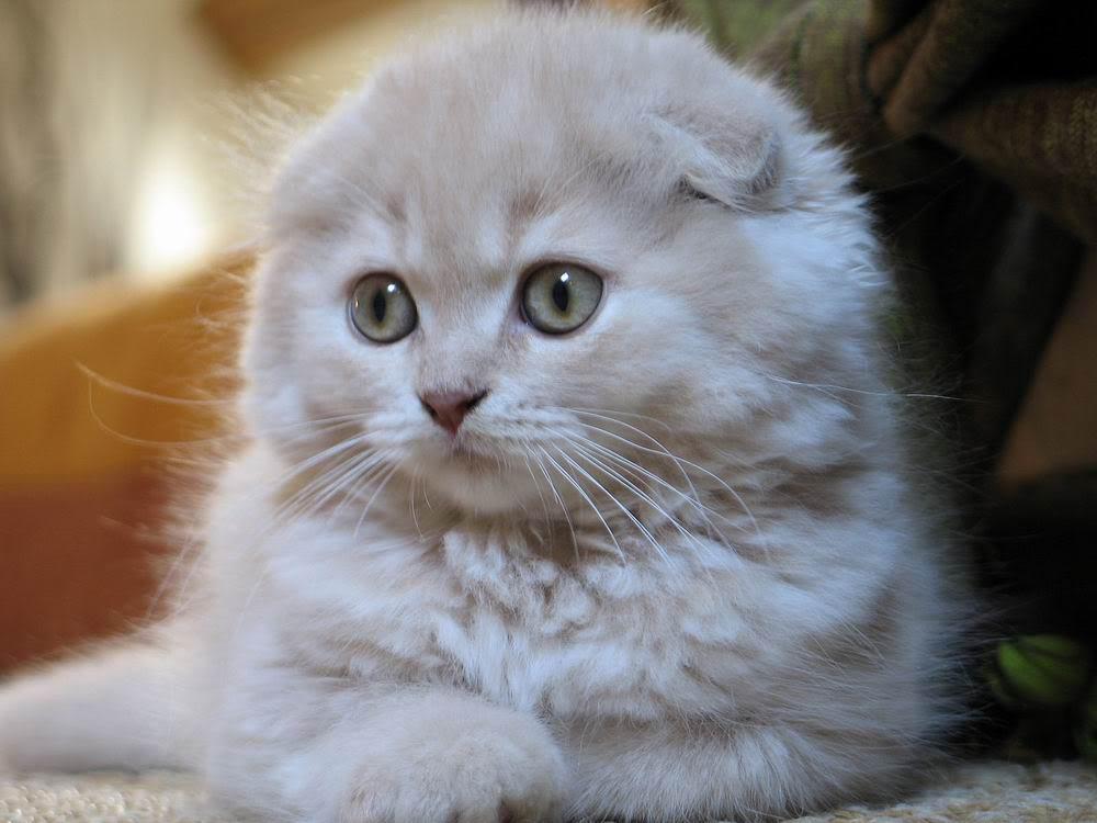 Ảnh mèo trắng đẹp và dễ thương