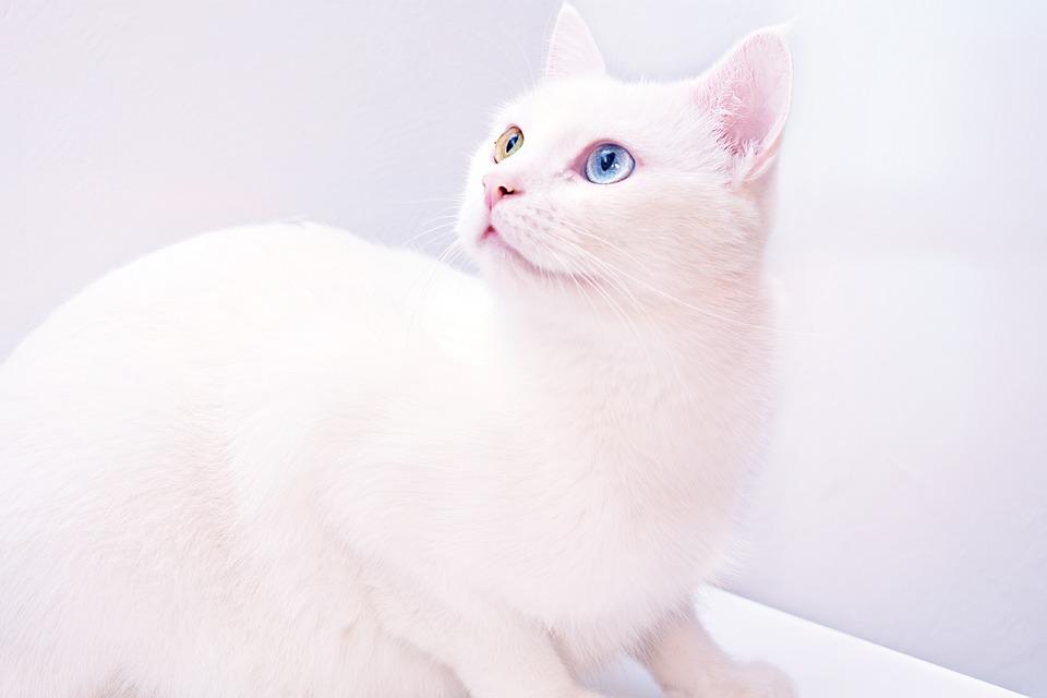 Ảnh mèo trắng đẹp