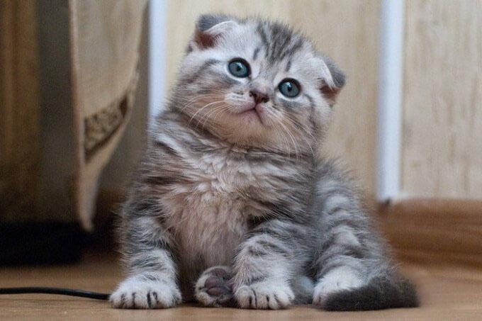 Hình ảnh đẹp về mèo anh