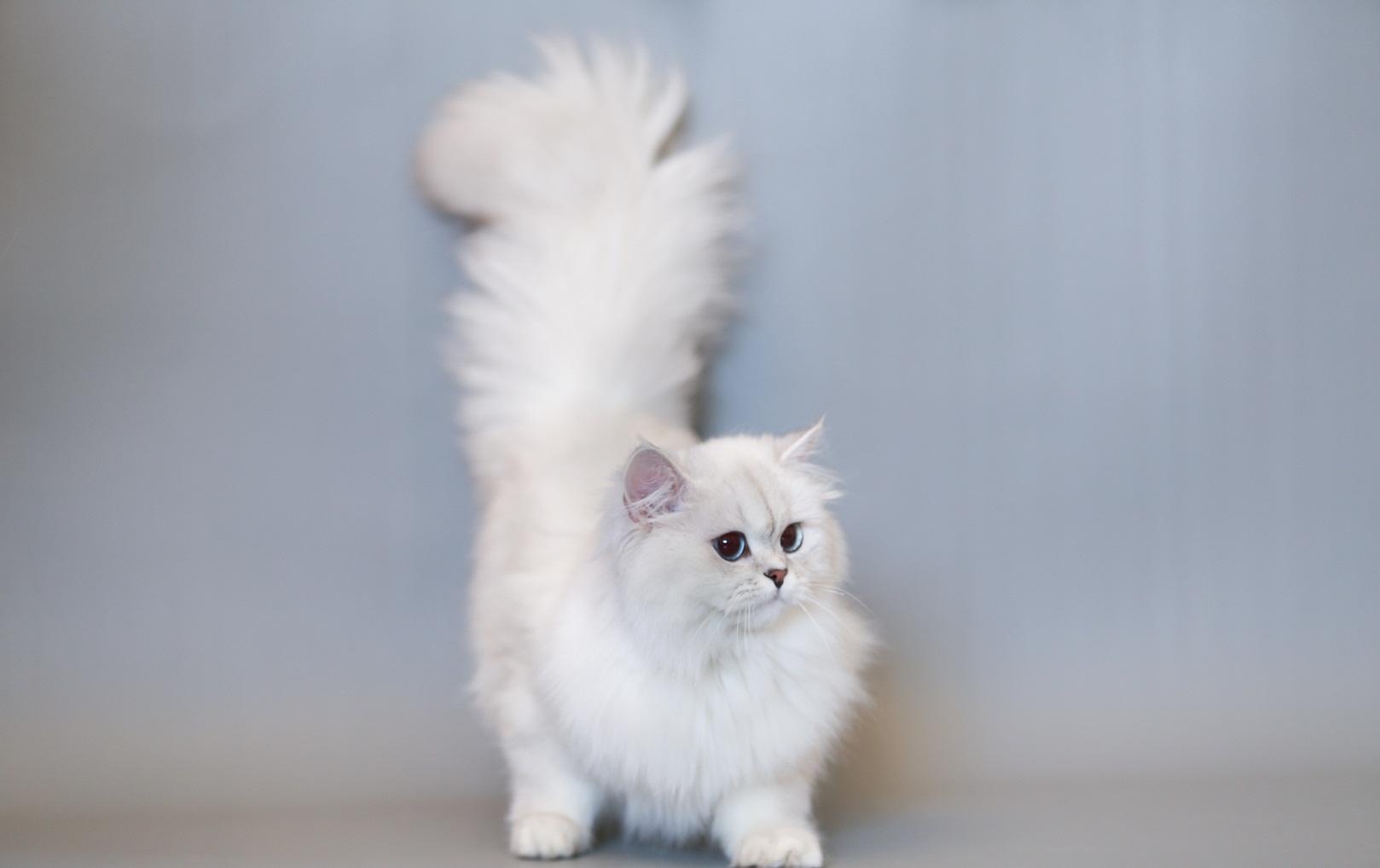 Hình ảnh mèo anh lông dài dễ thương