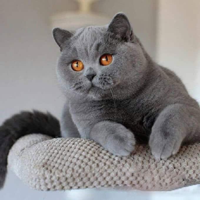 Hình ảnh mèo anh lông ngắn dễ thương