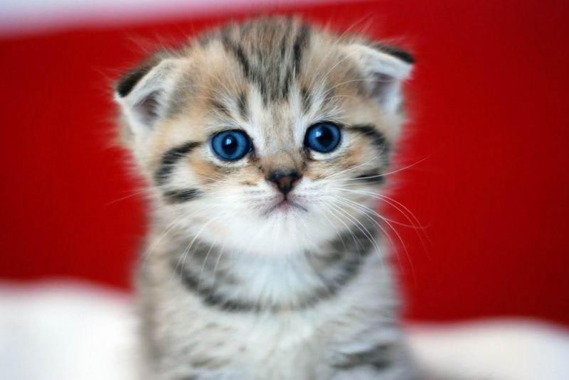 Hình ảnh mèo anh tai cụp dễ thương