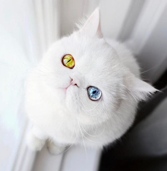 Hình ảnh mèo đẹp mắt hai màu