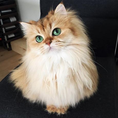 Hình ảnh mèo lông dài đẹp