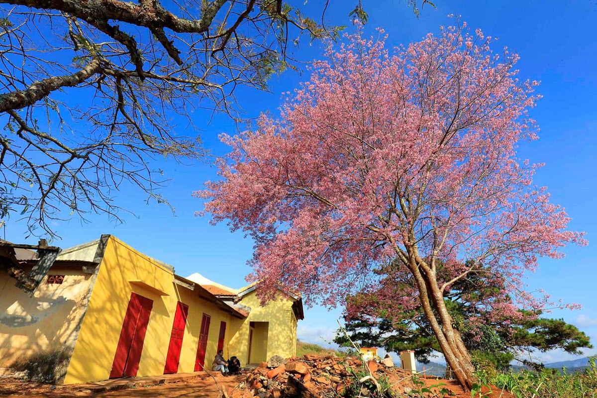 Ảnh đẹp hoa đào ở Đà lạt