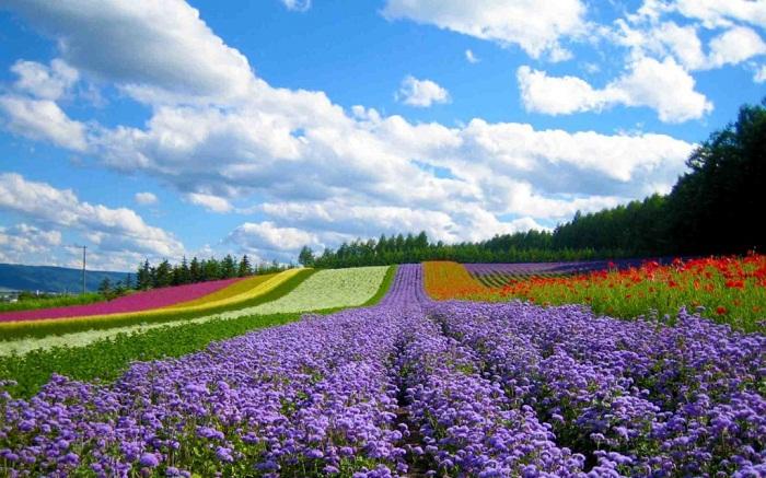 Hình ảnh cánh đồng hoa ở Đà lạt