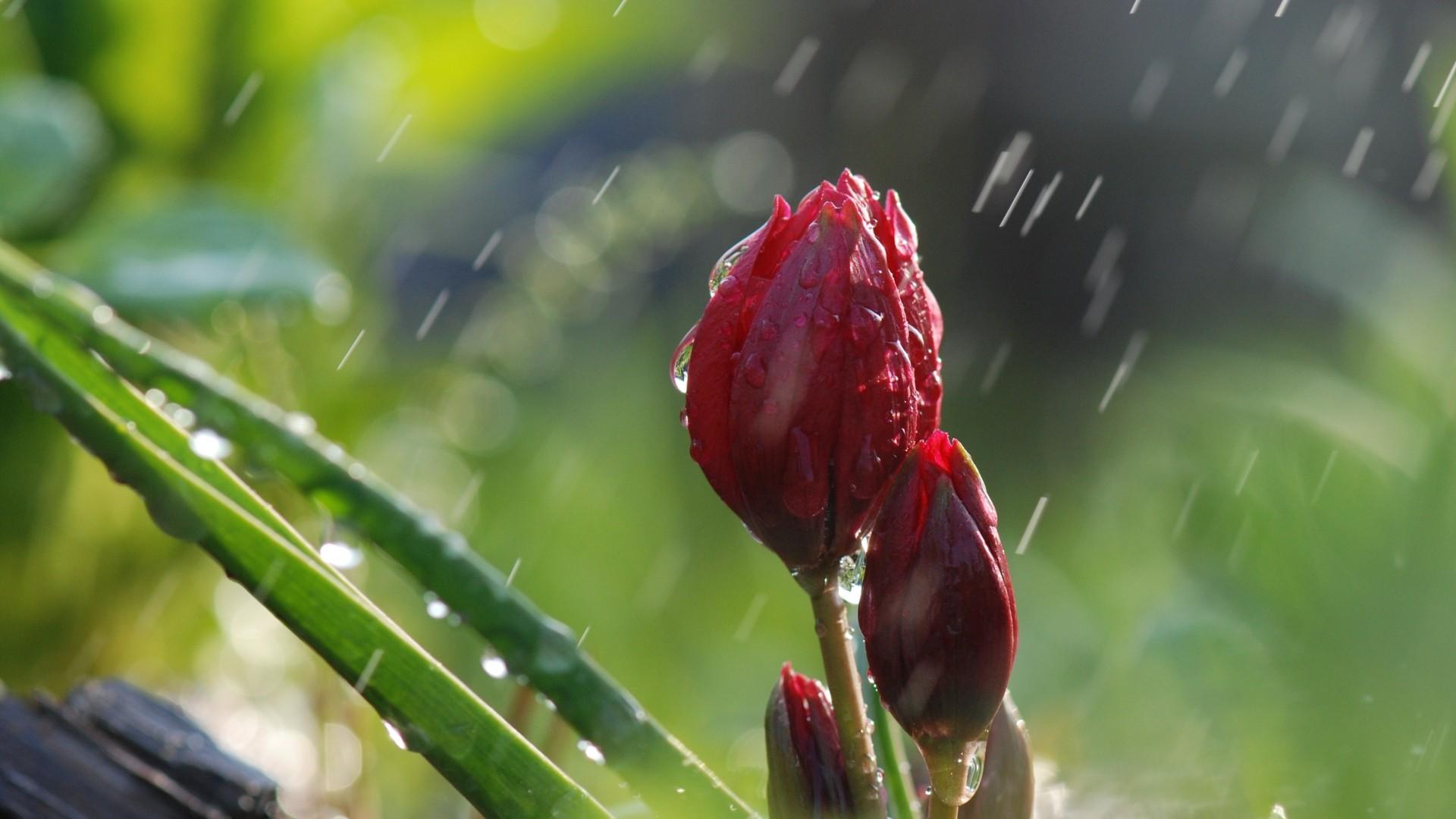 Hình ảnh bông hoa dưới trời mưa đẹp