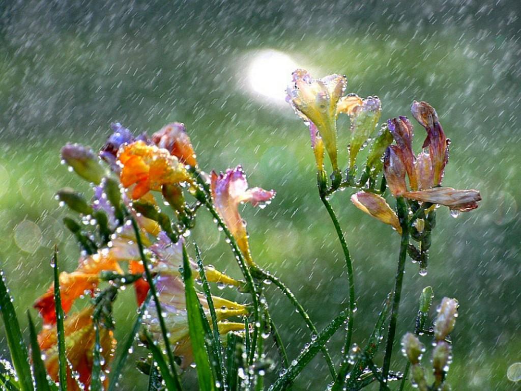Hình ảnh những bông hoa dưới mưa đẹp