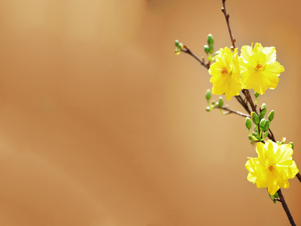 Nền background hoa mai tết
