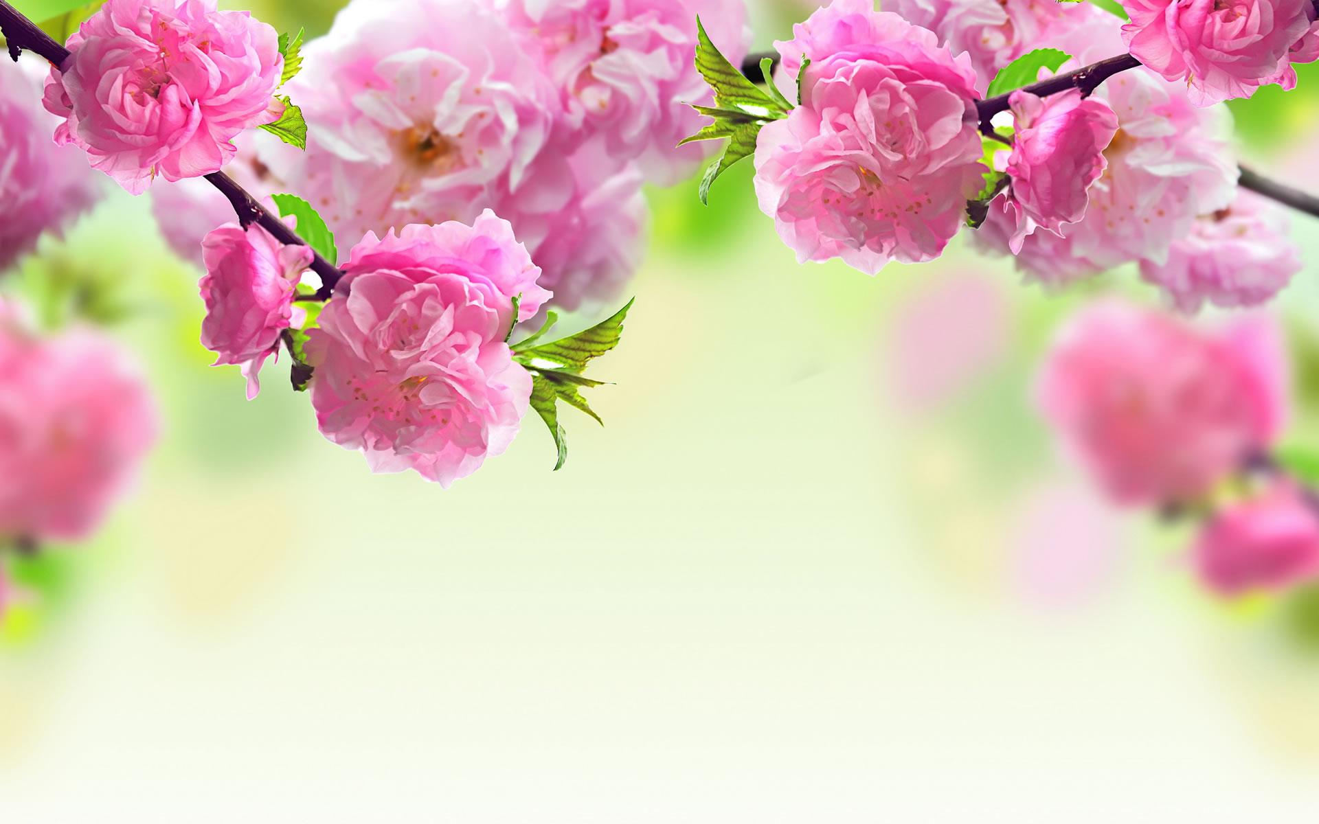 Background hoa đào tết