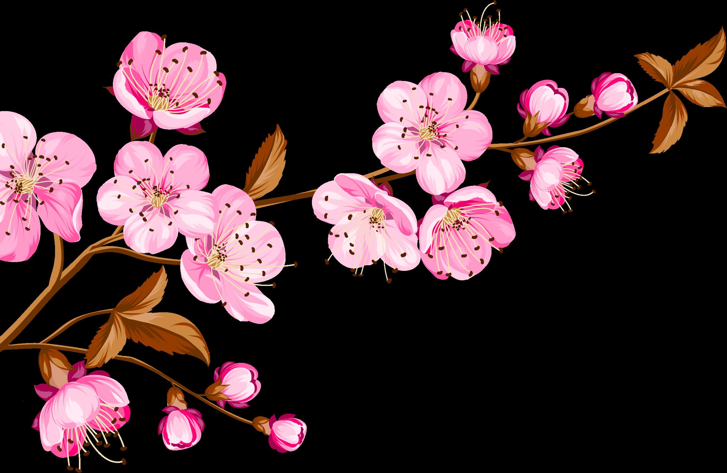 Ảnh bông hoa anh đào PNG